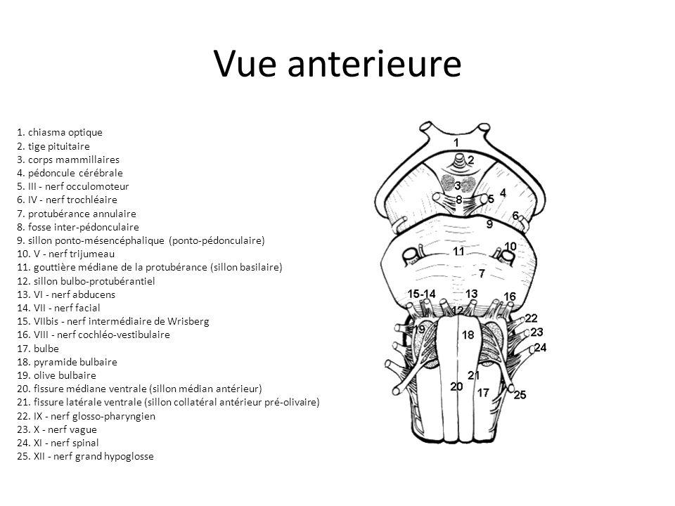 Vue anterieure 1. chiasma optique 2. tige pituitaire