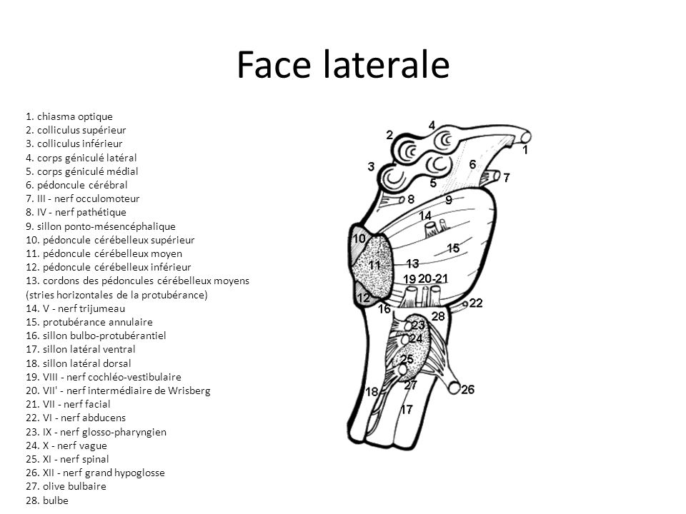 Face laterale 1. chiasma optique 2. colliculus supérieur