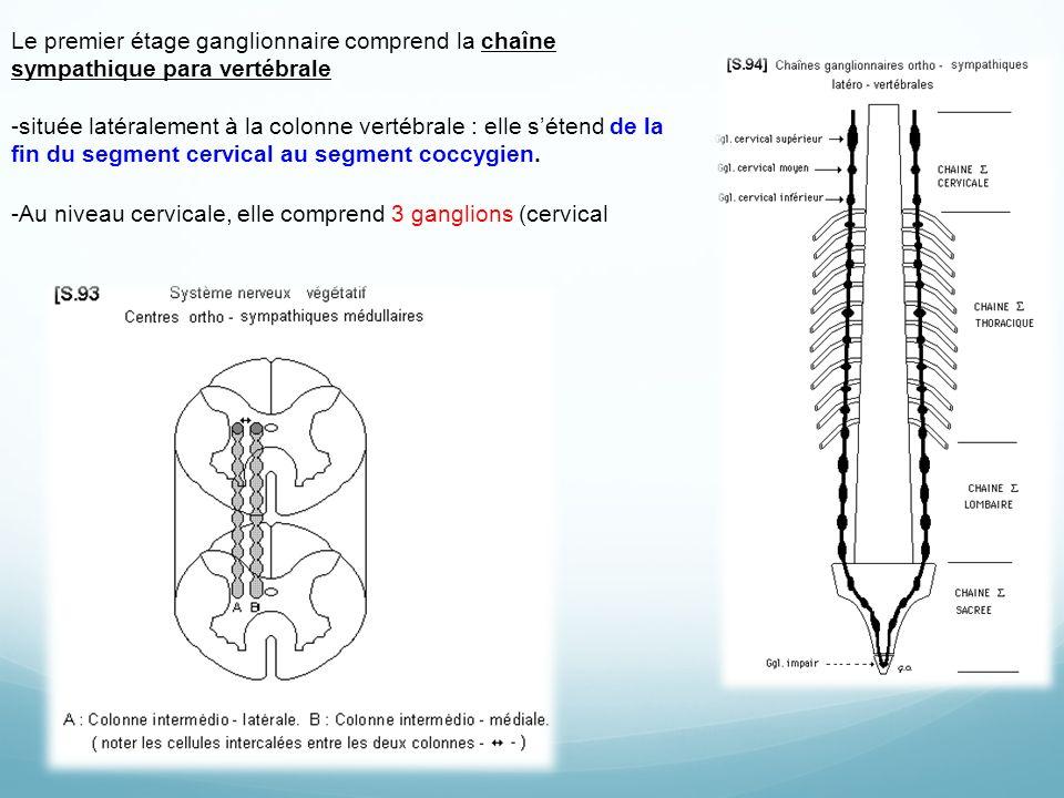 Le premier étage ganglionnaire comprend la chaîne sympathique para vertébrale