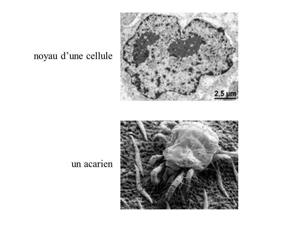 noyau d'une cellule un acarien