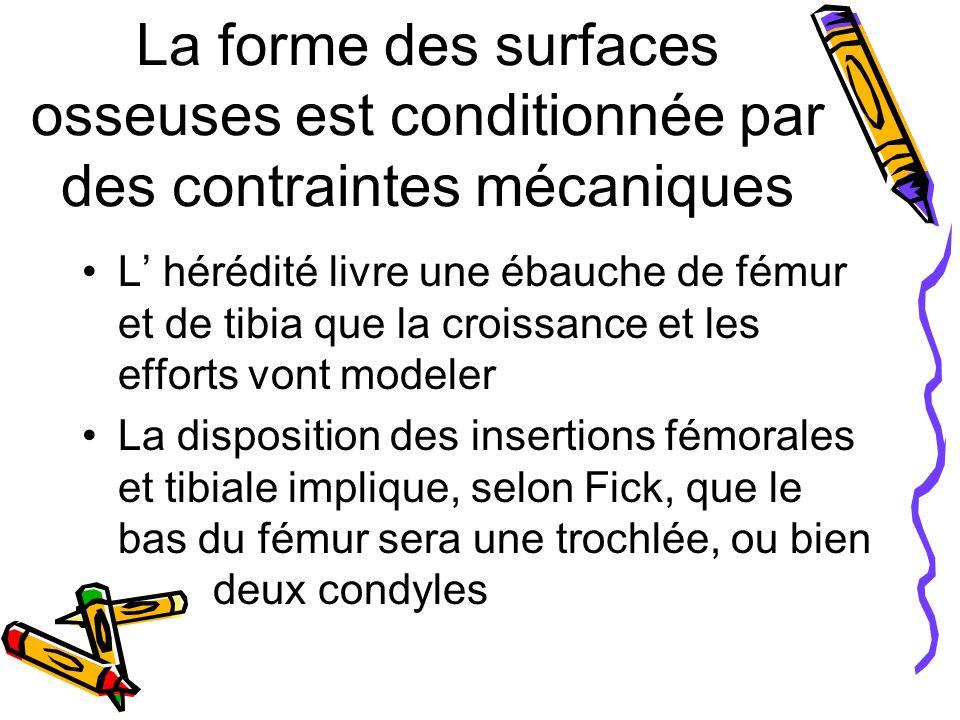 La forme des surfaces osseuses est conditionnée par des contraintes mécaniques