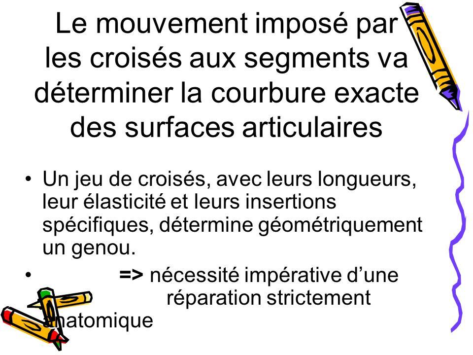 Le mouvement imposé par les croisés aux segments va déterminer la courbure exacte des surfaces articulaires