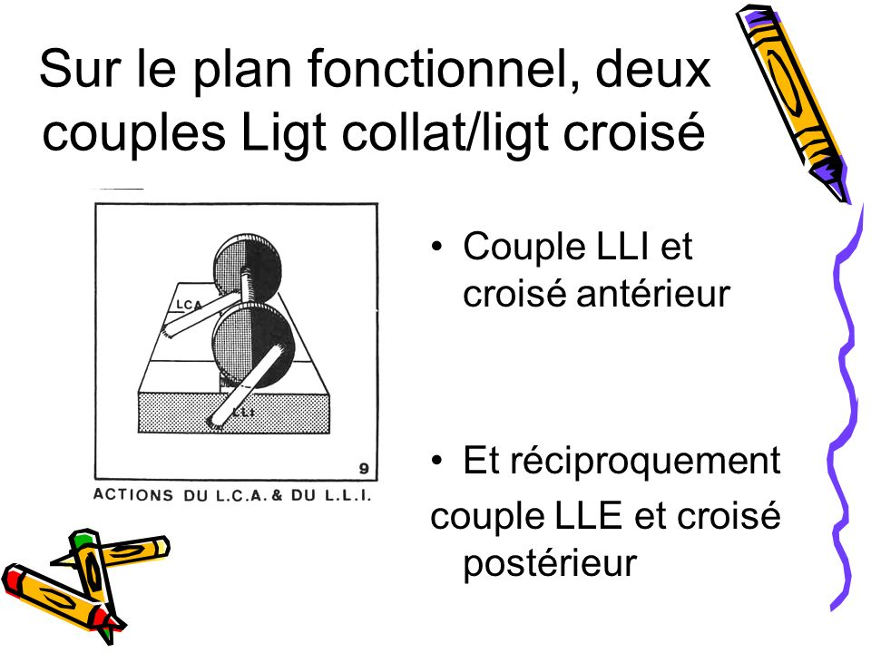 Sur le plan fonctionnel, deux couples Ligt collat/ligt croisé