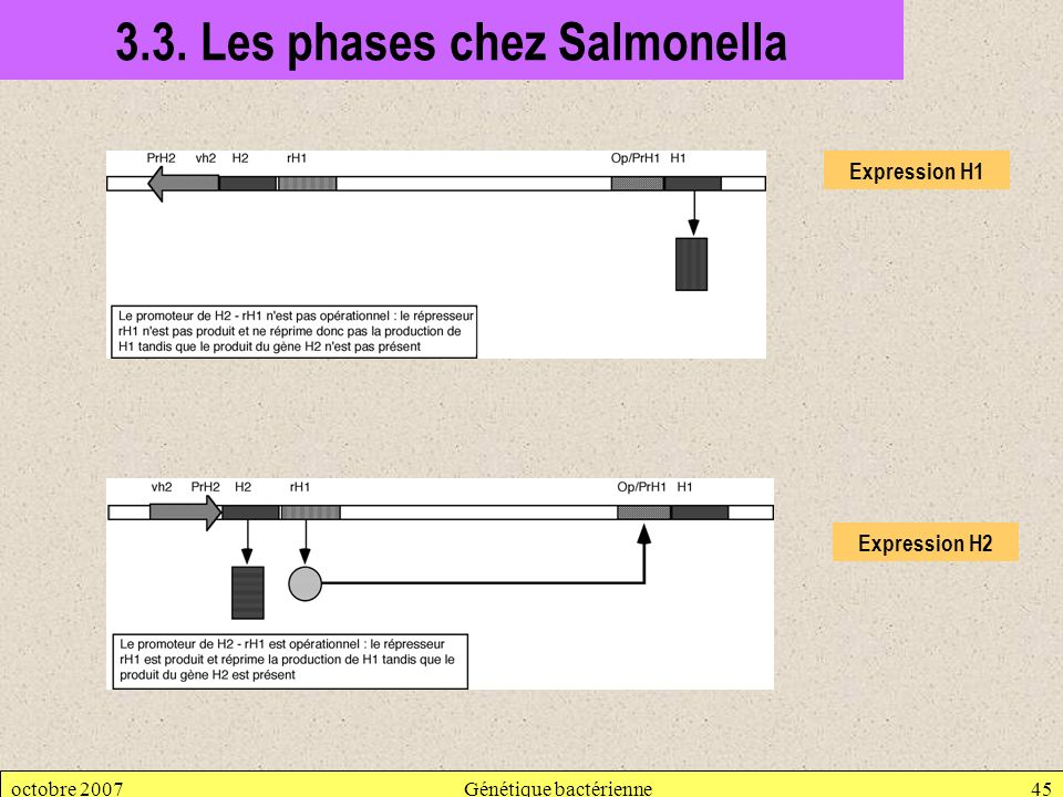 3.3. Les phases chez Salmonella
