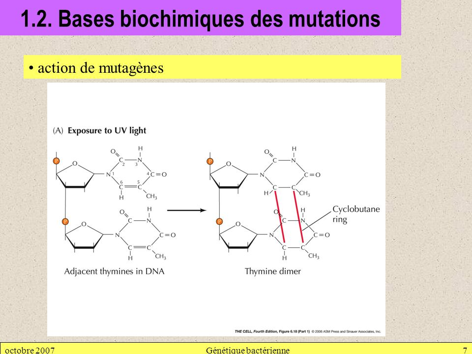 1.2. Bases biochimiques des mutations