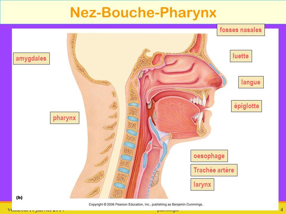 Nez-Bouche-Pharynx fosses nasales luette amygdales langue épiglotte