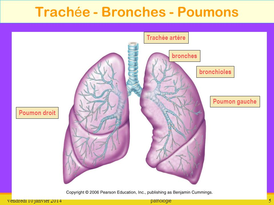 Trachée - Bronches - Poumons