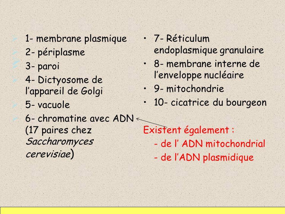 1- membrane plasmique 2- périplasme. 3- paroi. 4- Dictyosome de l'appareil de Golgi. 5- vacuole.