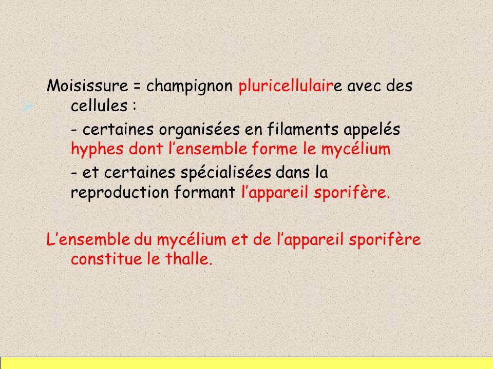 Moisissure = champignon pluricellulaire avec des cellules : - certaines organisées en filaments appelés hyphes dont l'ensemble forme le mycélium - et certaines spécialisées dans la reproduction formant l'appareil sporifère.
