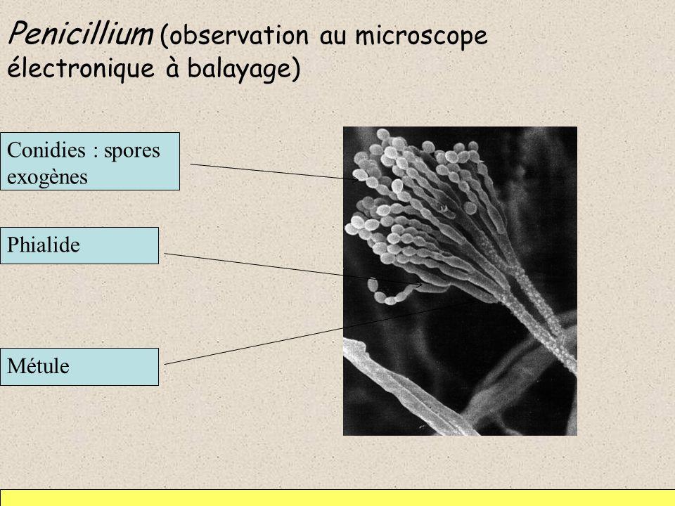 Penicillium (observation au microscope électronique à balayage)