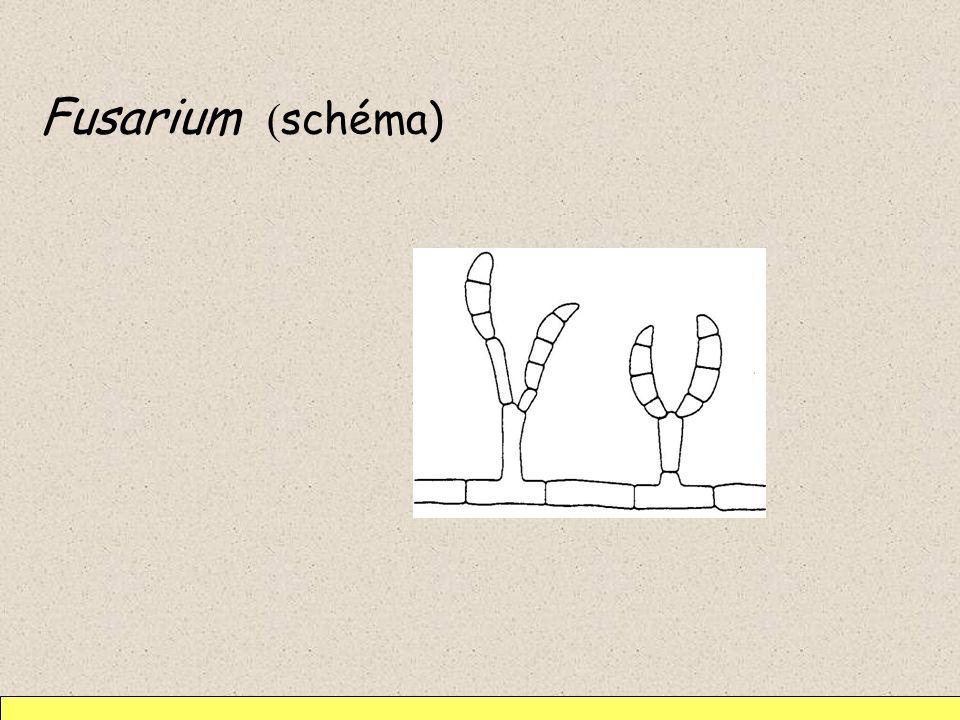 Fusarium (schéma)