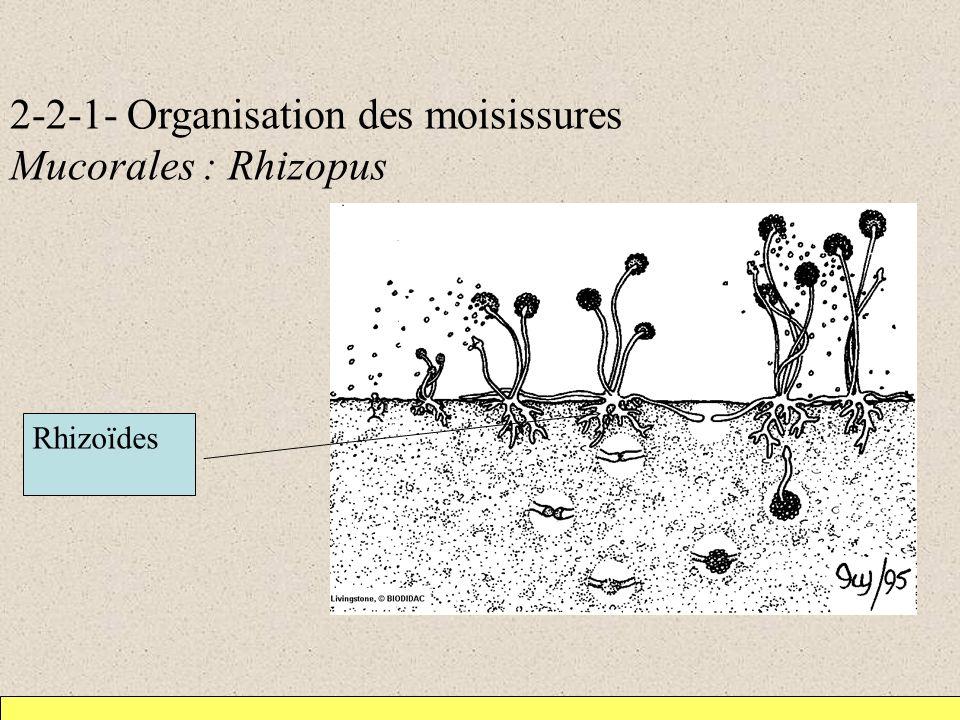 2-2-1- Organisation des moisissures Mucorales : Rhizopus