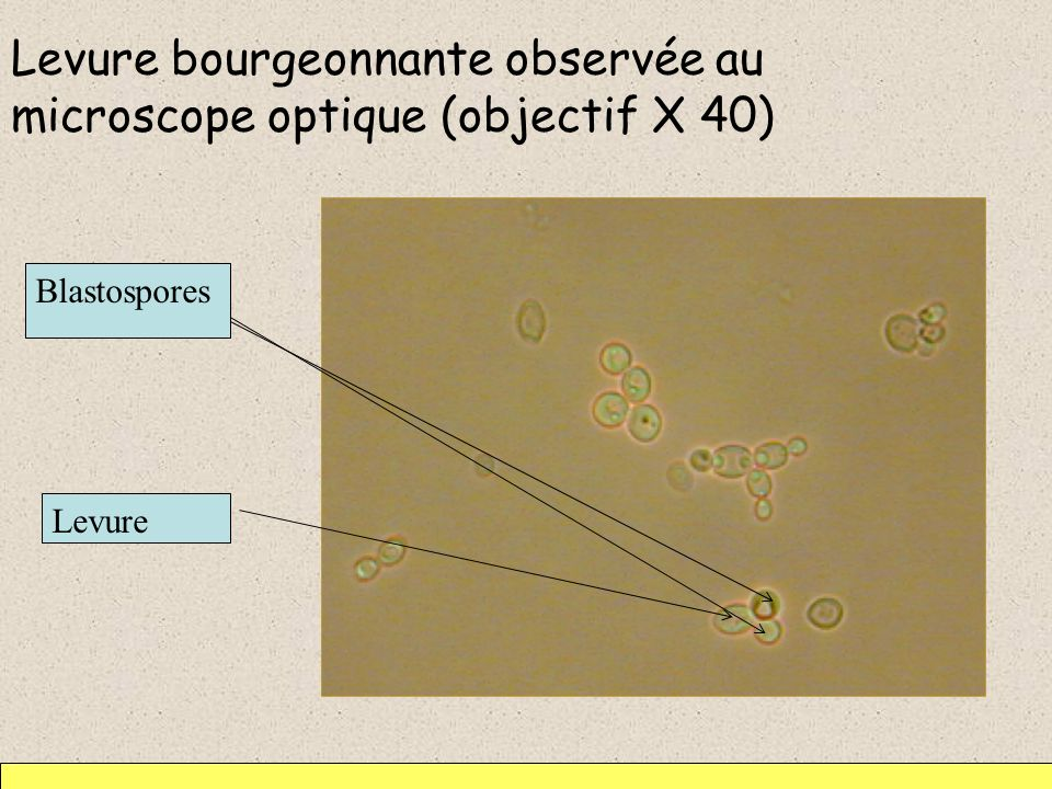 Levure bourgeonnante observée au microscope optique (objectif X 40)