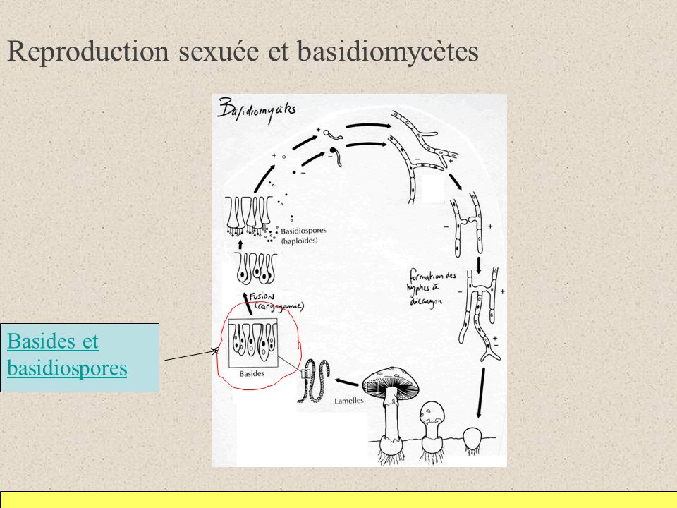 Reproduction sexuée et basidiomycètes