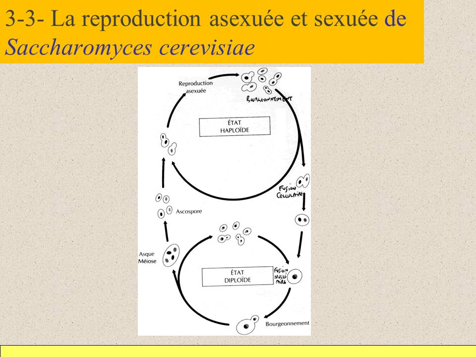 3-3- La reproduction asexuée et sexuée de Saccharomyces cerevisiae