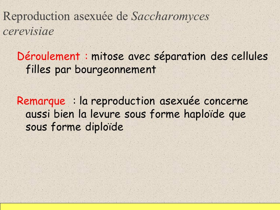 Reproduction asexuée de Saccharomyces cerevisiae