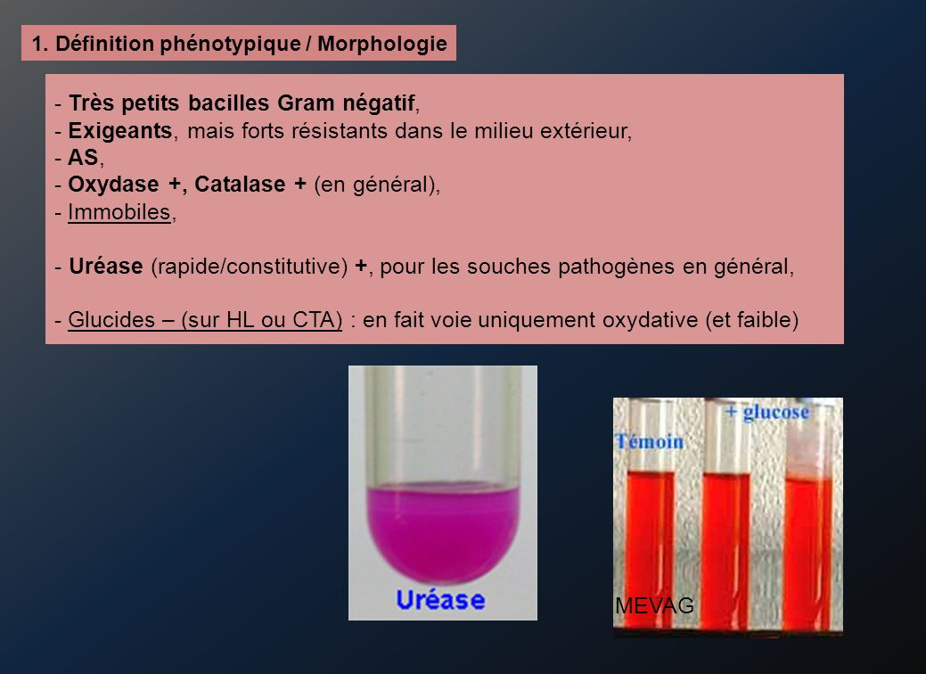 - Très petits bacilles Gram négatif,