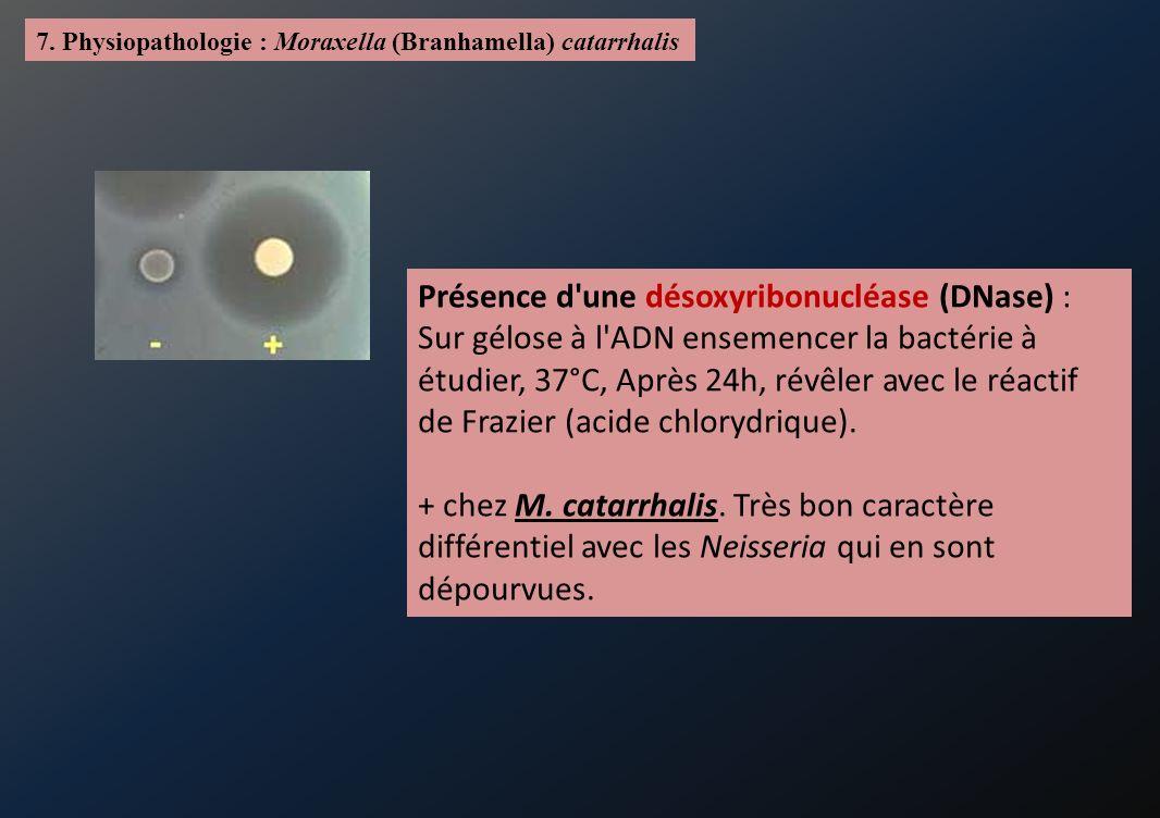 7. Physiopathologie : Moraxella (Branhamella) catarrhalis