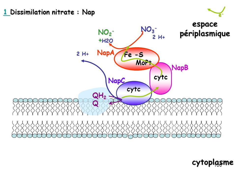 1 Dissimilation nitrate : Nap