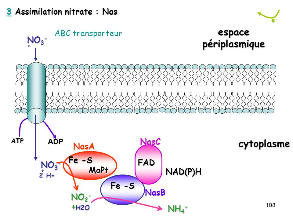 3 Assimilation nitrate : Nas