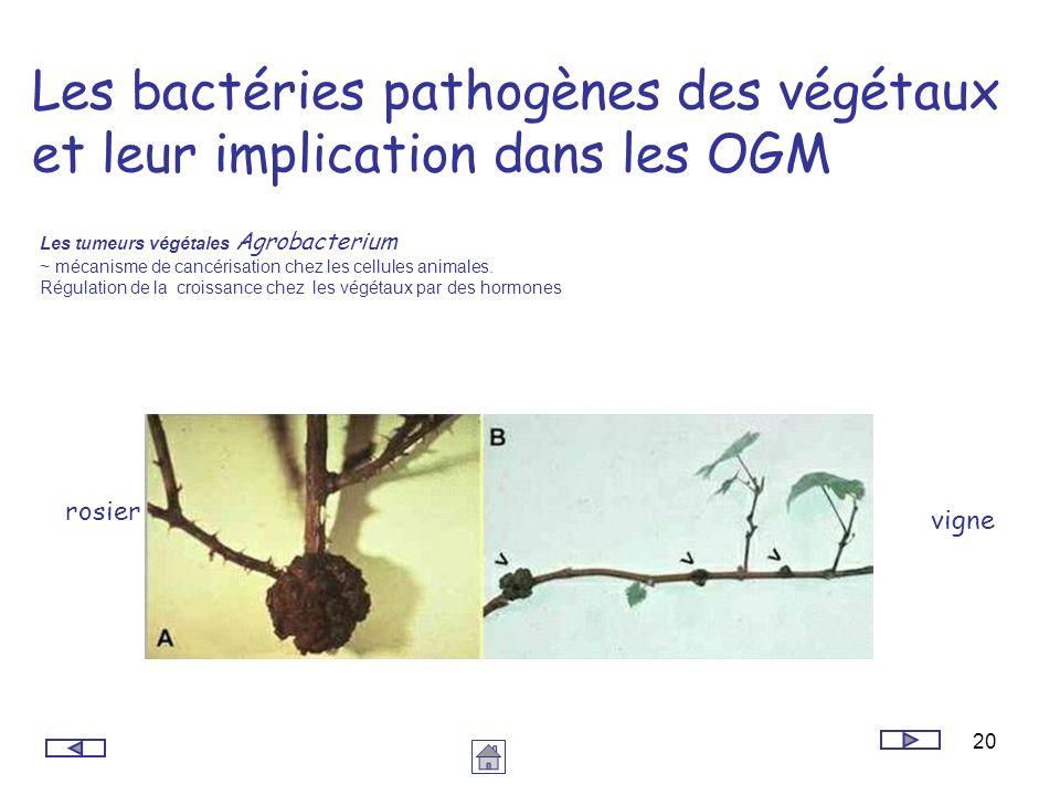 Les bactéries pathogènes des végétaux et leur implication dans les OGM