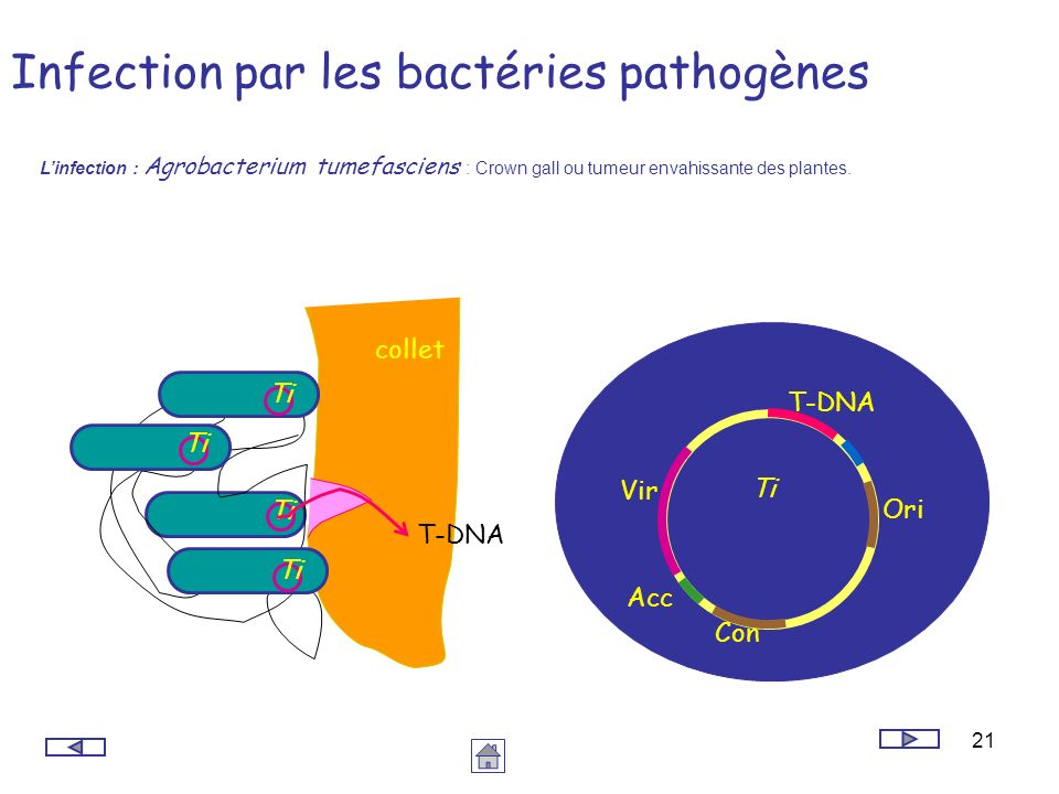 Infection par les bactéries pathogènes