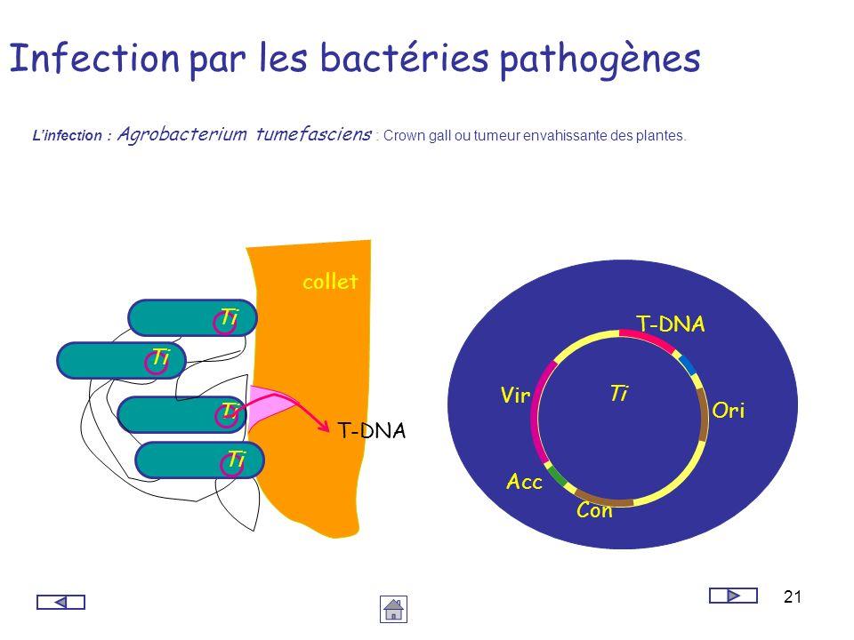 Infection par les bactéries pathogènes