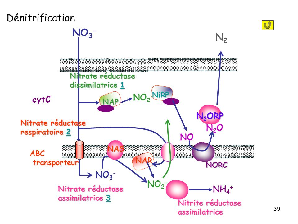 Dénitrification NO3- N2 NO2- cytC N2ORP N2O NO NO3- NO2- NH4+