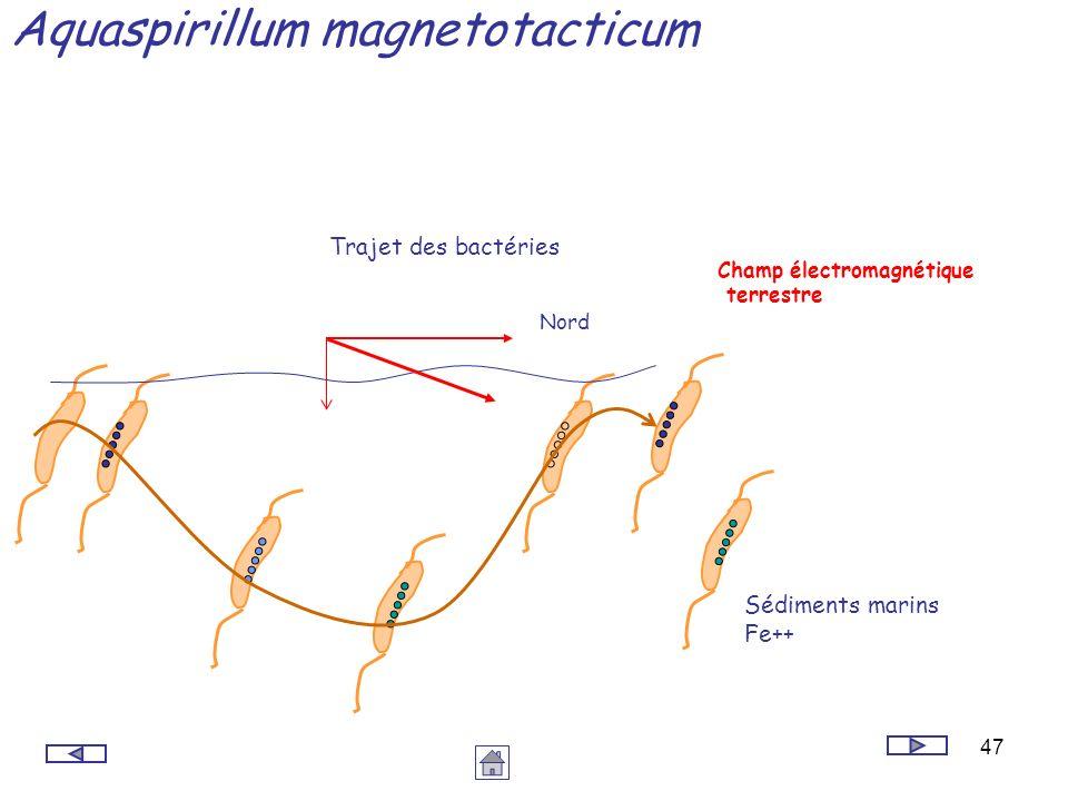 Aquaspirillum magnetotacticum