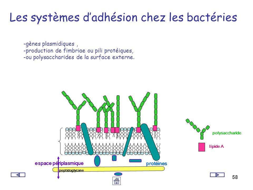 Les systèmes d'adhésion chez les bactéries