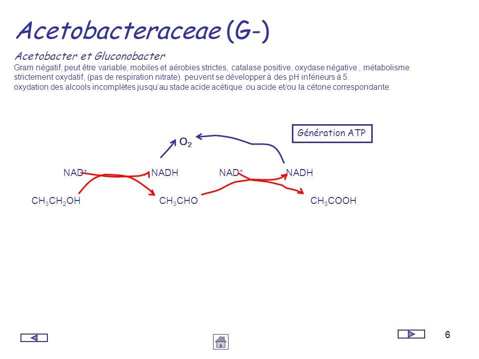 Acetobacteraceae (G-)