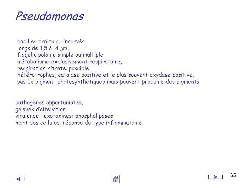 Pseudomonas bacilles droits ou incurvés longs de 1,5 à 4 µm,