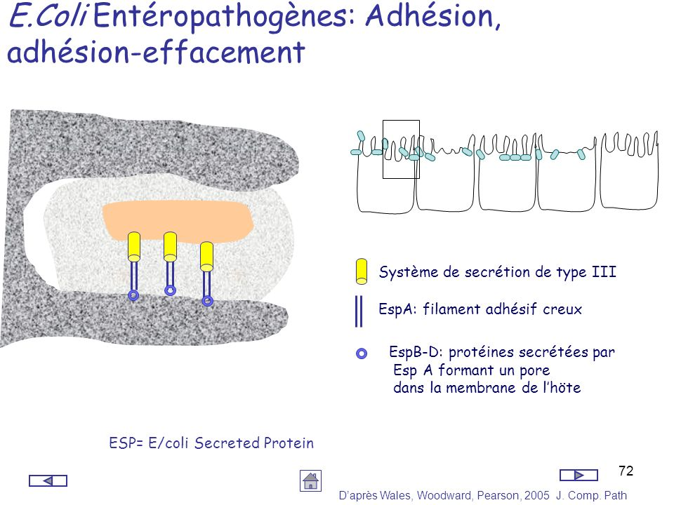 E.Coli Entéropathogènes: Adhésion, adhésion-effacement