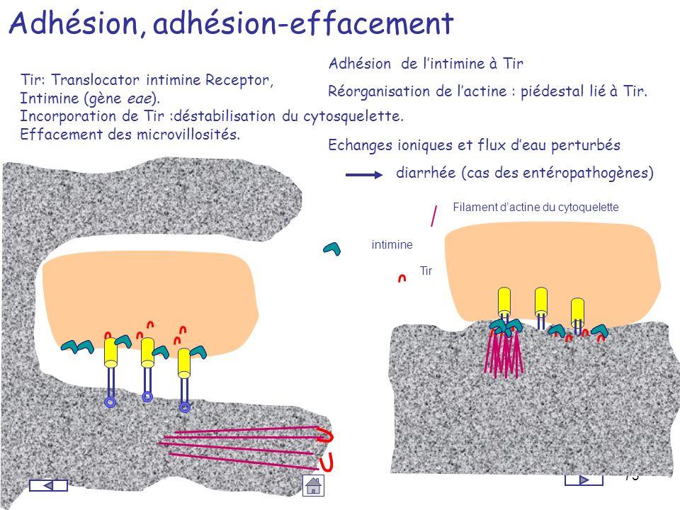 Adhésion, adhésion-effacement