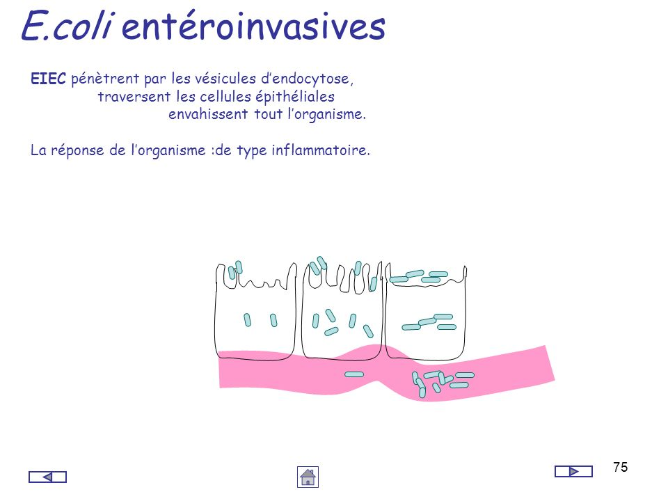 E.coli entéroinvasives