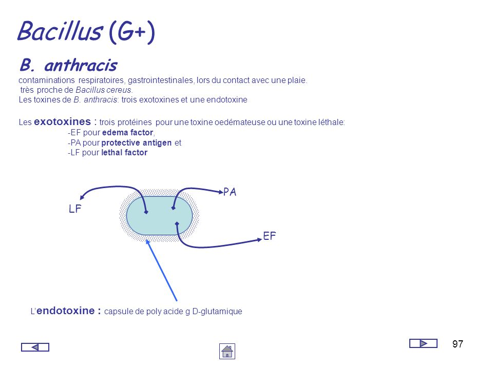 Bacillus (G+) B. anthracis PA LF EF