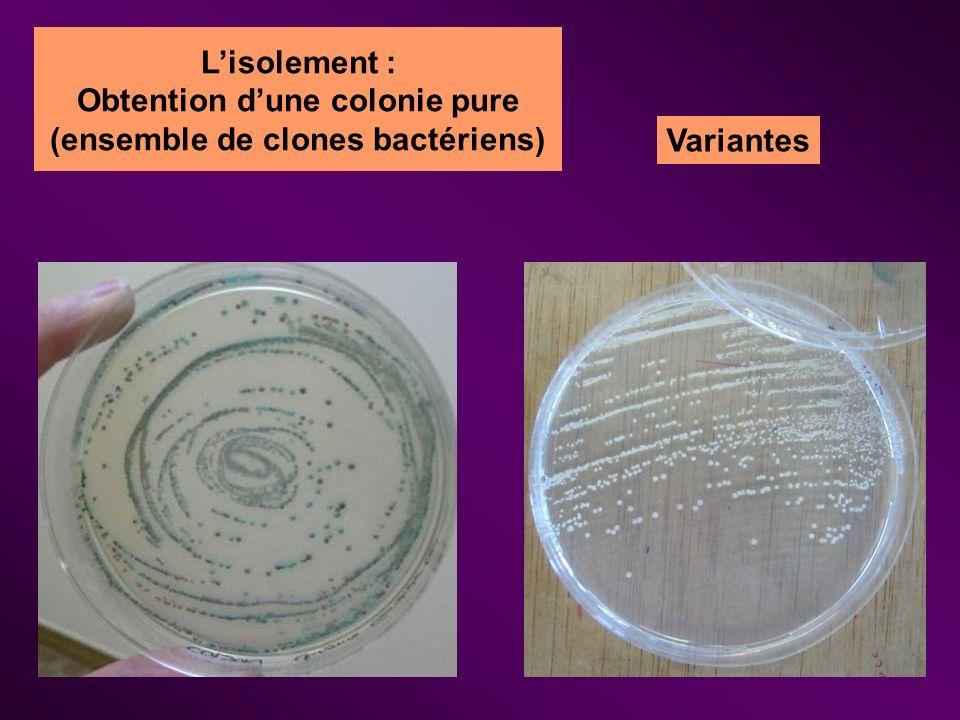 Obtention d'une colonie pure (ensemble de clones bactériens)