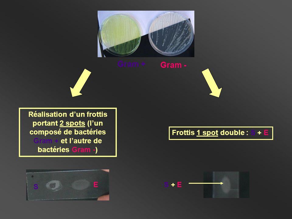 Gram + Gram - Réalisation d'un frottis portant 2 spots (l'un composé de bactéries Gram + et l'autre de bactéries Gram -)