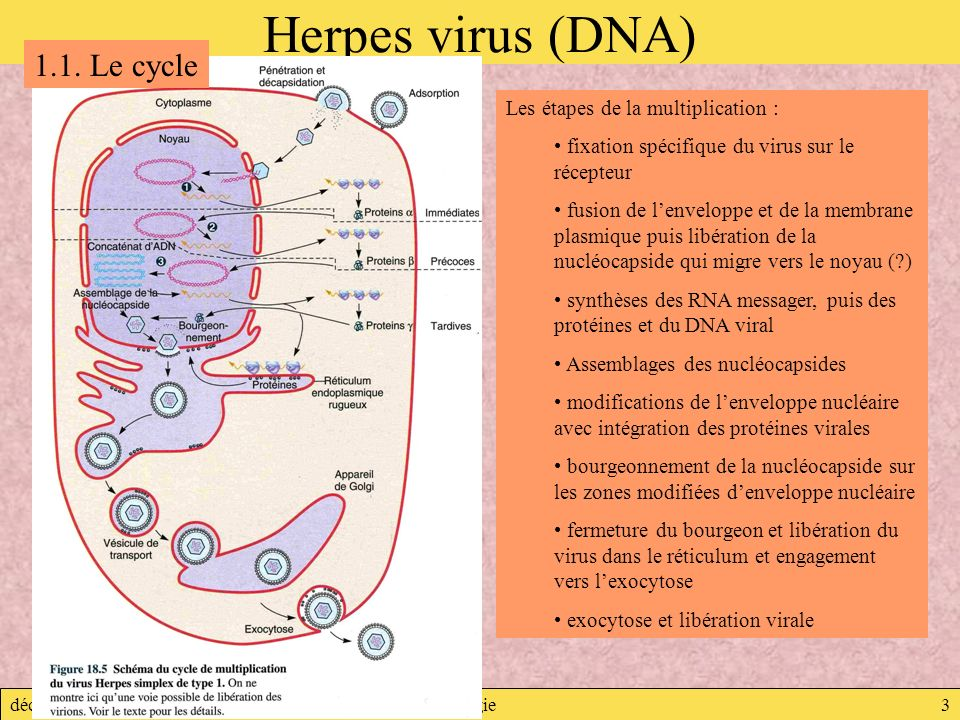 Herpes virus (DNA) 1.1. Le cycle Les étapes de la multiplication :