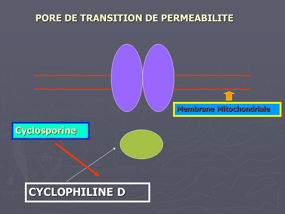CYCLOPHILINE D PORE DE TRANSITION DE PERMEABILITE Cyclosporine