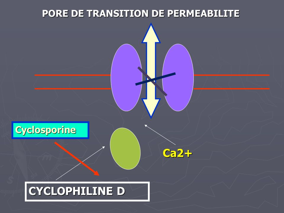 PORE DE TRANSITION DE PERMEABILITE