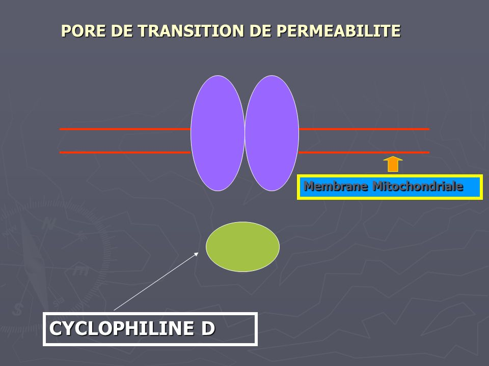 CYCLOPHILINE D PORE DE TRANSITION DE PERMEABILITE
