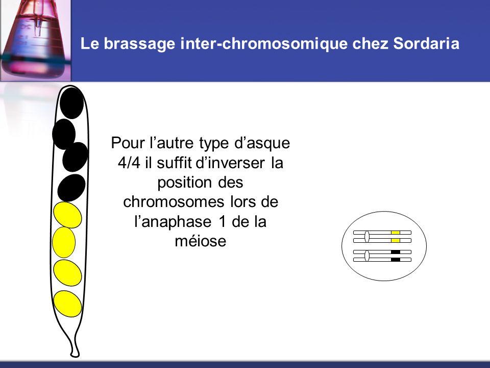 Le brassage inter-chromosomique chez Sordaria