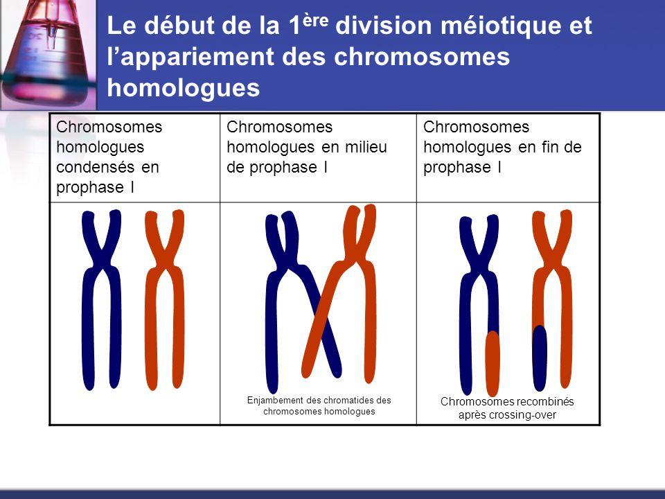Le début de la 1ère division méiotique et l'appariement des chromosomes homologues
