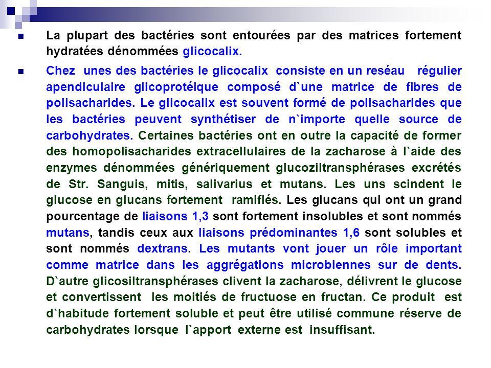 La plupart des bactéries sont entourées par des matrices fortement hydratées dénommées glicocalix.