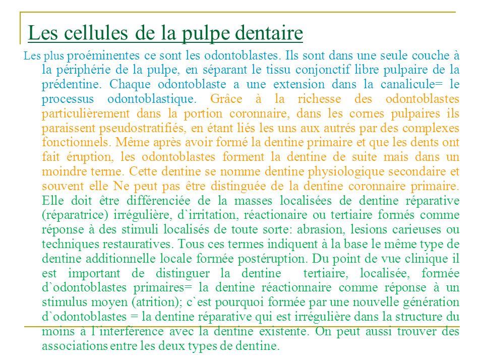 Les cellules de la pulpe dentaire