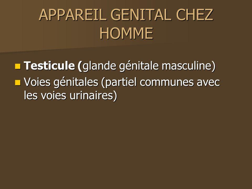 APPAREIL GENITAL CHEZ HOMME