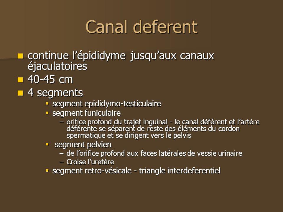 Canal deferent continue l'épididyme jusqu'aux canaux éjaculatoires