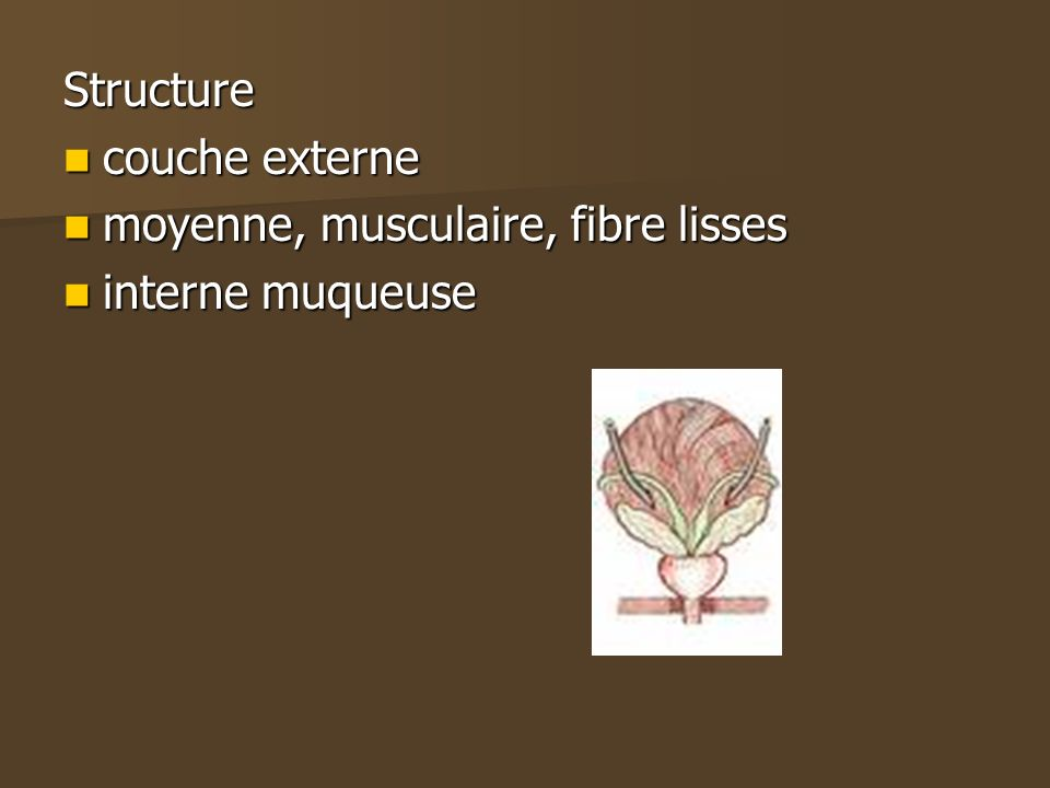 Structure couche externe moyenne, musculaire, fibre lisses interne muqueuse