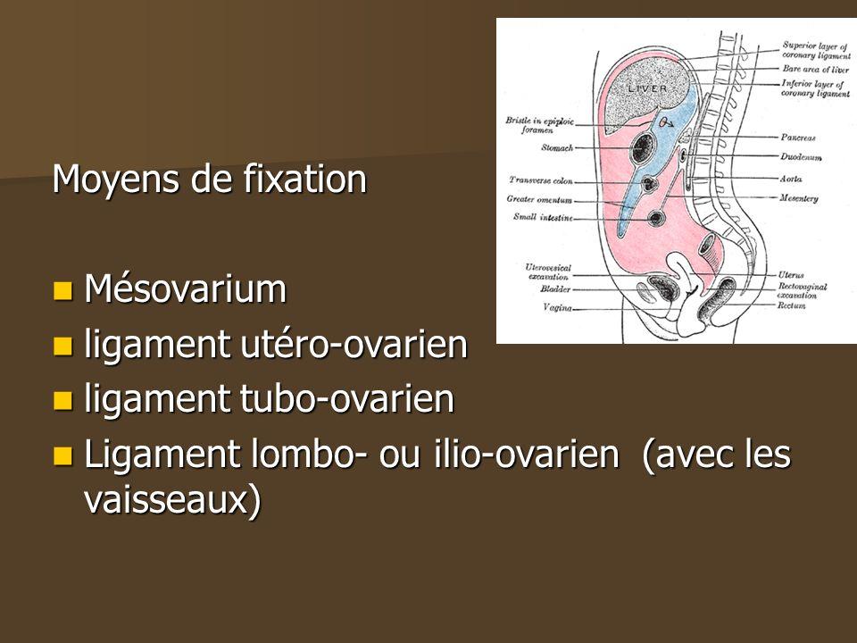 Moyens de fixation Mésovarium. ligament utéro-ovarien.